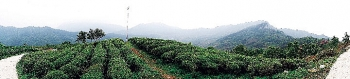 Trồng trà -  trên dải núi cao nhất vùng Đông Bắc