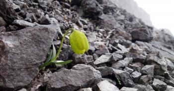 """Loài thực vật quý tiến hóa khả năng """"ngụy trang"""" để không bị hái"""