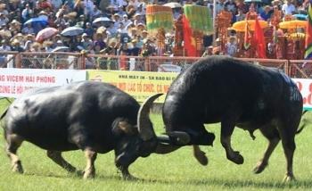 Tạm dừng lễ hội chọi trâu Đồ Sơn 2020 vì dịch Covid-19